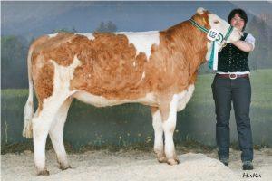 Die Teilnahme an Rinderschauen ist in der Fleischrinderzucht wichtiger als bei Milchkühen.