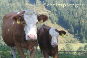 Enthornte Kuh mit hornlosem Kalb - man beachte den runden Kopf beim Kalb, während die Mutter eine deutlich prominentere Stirn (die sogenannte Protuberantia intercornualis) hat.